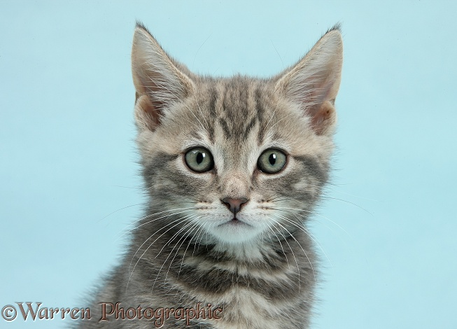 Tabby kitten, Max, 9 weeks old, on blue background