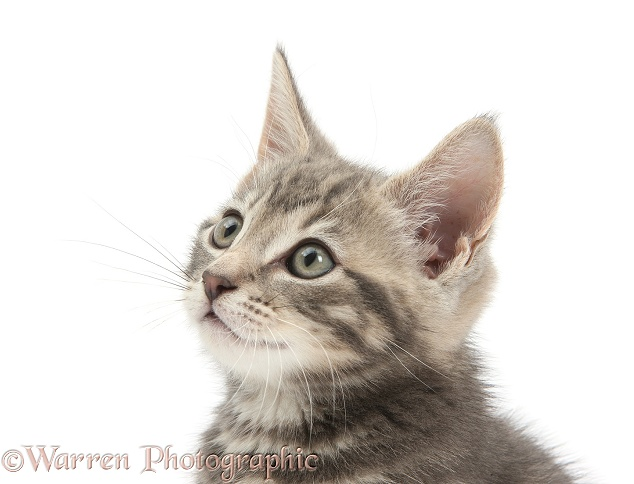 Tabby kitten, Max, 9 weeks old, white background