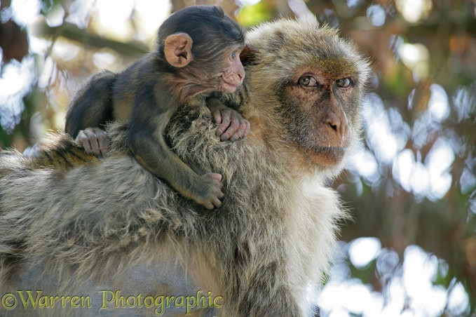 Gibraltar Barbary Macaque (Macaca sylvanus) mother and baby