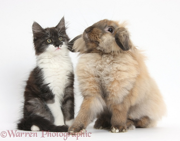 Fluffy dark silver-and-white kitten, 9 weeks old, and Lionhead Lop rabbit, white background