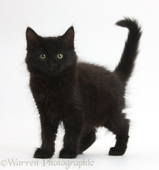 Fluffy black kitten, 9 weeks old, standing with tail erect, white background