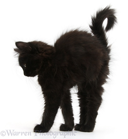 Fluffy black kitten, 9 weeks old, stretching with arched back like a witch's cat, white background