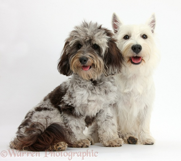 Fluffy black-and-grey Daxie-doodle, Pebbles, with West Highland White Terrier bitch, Milly, white background