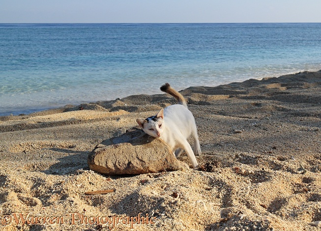 Club-tailed cat rubbing against a rock on a beach.  Gili Islands, Lombok, Indonesia