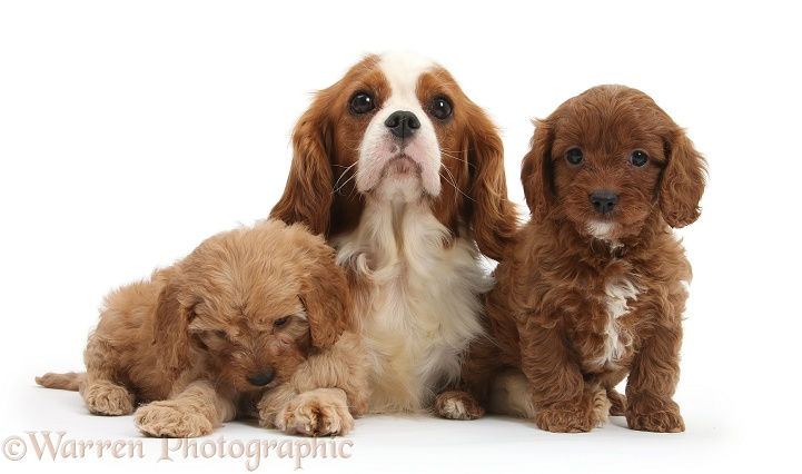 Cavalier King Charles Spaniel and Cavapoo pups, white background