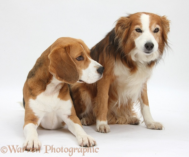 Beagle dog, Bruce, with Sable Border Collie bitch, Lollipop, white background