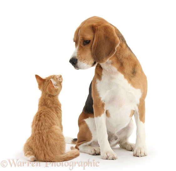 Beagle dog, Bruce, with ginger kitten, Tom, white background