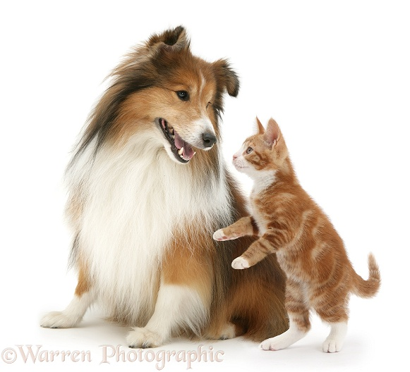 Shetland Sheepdog and ginger kitten, Ollie, 10 weeks old, white background