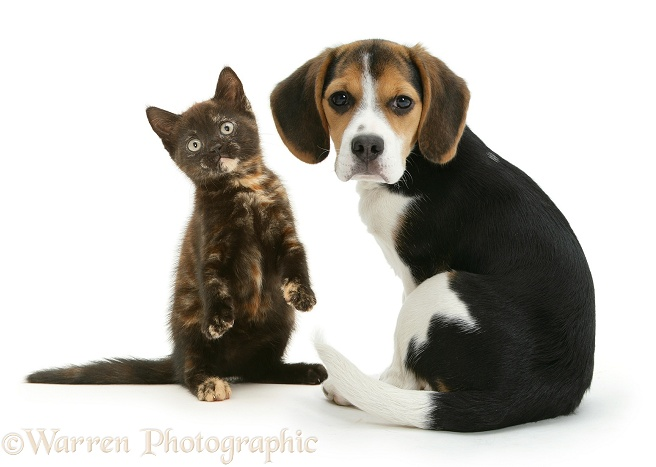 Beagle pup, Florrie, and playful chocolate-tortoiseshell kitten, white background