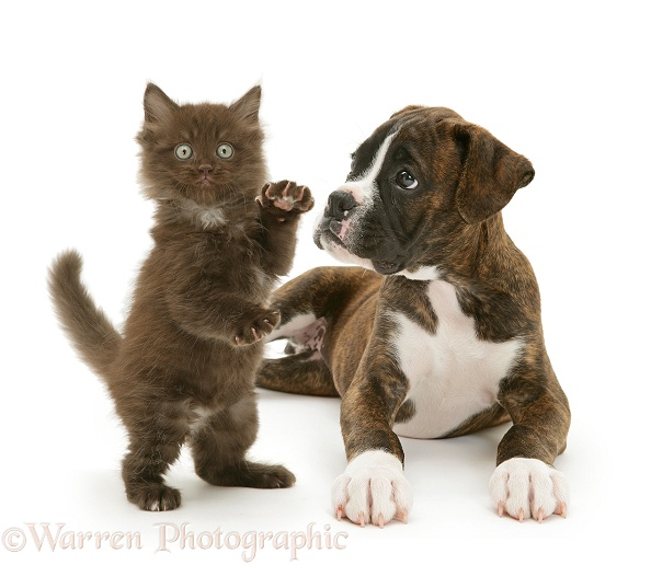 Brindle Boxer pup, Lily, 9 weeks old, watching chocolate fluffy kitten Cocoa, stand on his hind legs, white background