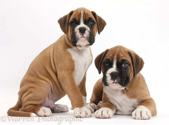 Two Boxer puppies, white background