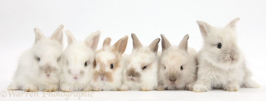 Six baby Lionhead x Lop bunnies in a row, white background