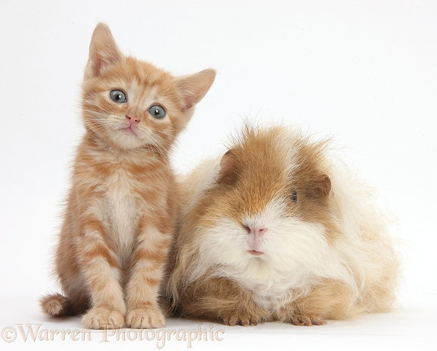 Ginger kitten, 5 weeks old, with shaggy Guinea pig, white background