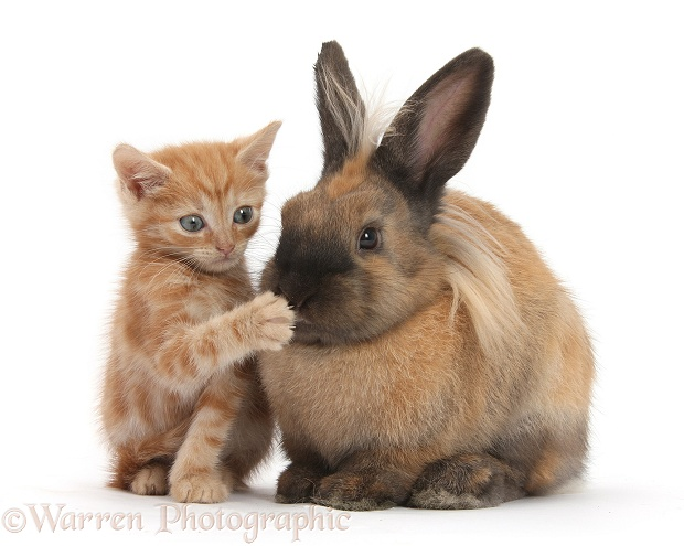 "Ginger kitten and Lionhead-cross rabbit - ""Pardon you!"", white background"