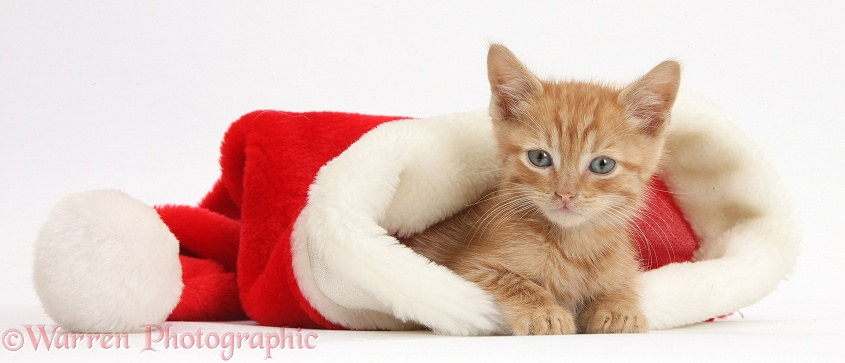 Ginger kitten, 5 weeks old, in a Father Christmas hat, white background
