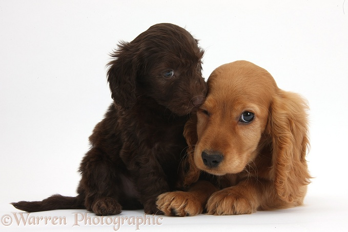 Cute chocolate Daxiedoodle puppy and Golden Cocker Spaniel puppy, Maizy, white background