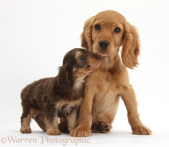 Cute Daxiedoodle puppy and Golden Cocker Spaniel puppy, Maizy, white background