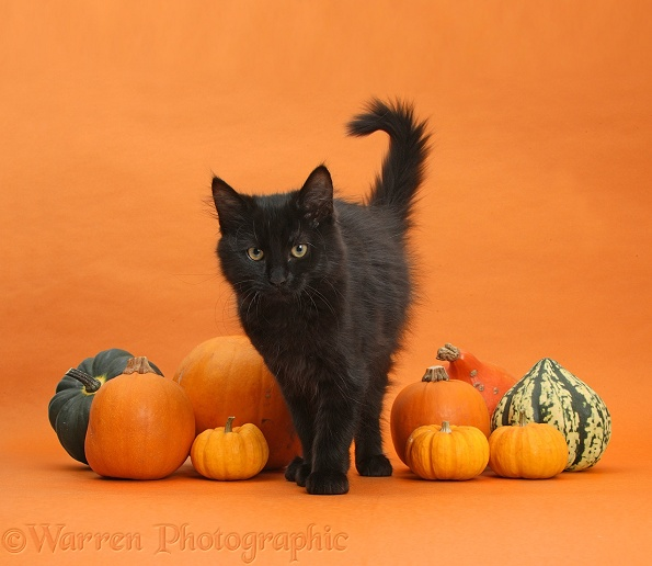 Black Maine Coon kitten and Halloween pumpkins on orange background