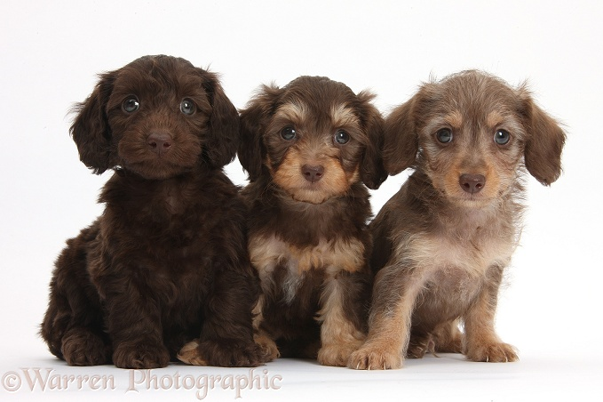Three cute chocolate and chocolate bicolour Daxie-doodle pups, 6 weeks old, white background