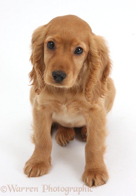 Golden Cocker Spaniel puppy, Maizy, sitting and looking up, white background