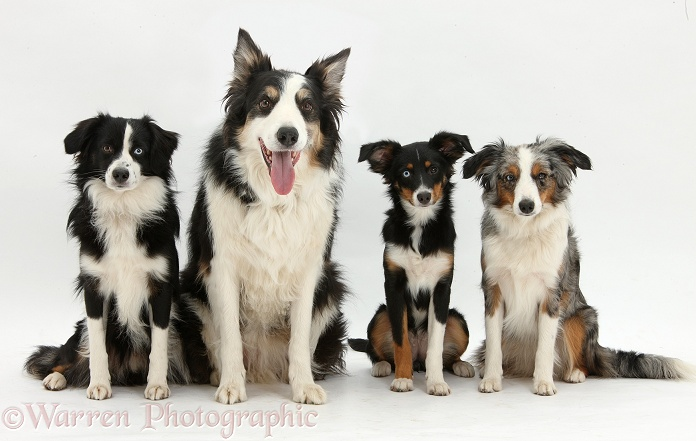 Miniature American Shepherds: Tricolour bitch, Miley, 6 months old, with black-and-white dog, Mac, 19 months old, and tricolour merle bitch, Yana, 16 months old, and tricolour Border Collie dog, Keen, white background