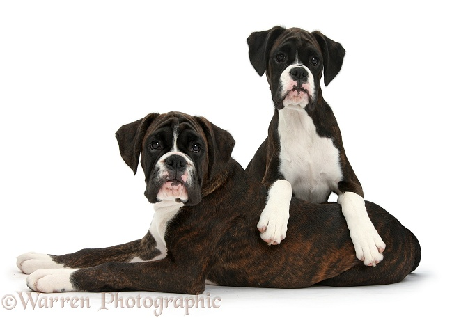 Boxer pups, Bella and Marty, 4 months old, white background