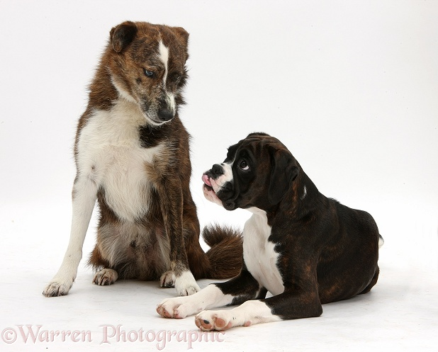Boxer pup, Bella, 4 months old, looking up at adult mongrel dog, Brec, 5 years old, white background