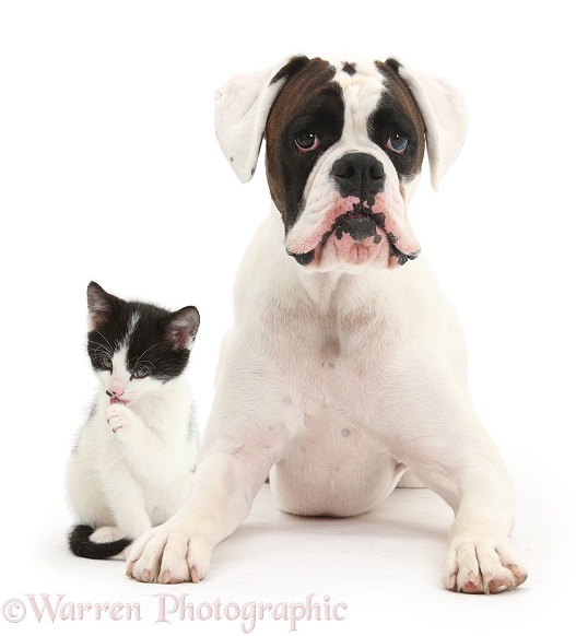 Brown-and-white Boxer dog, Zorro, 2 years old, with black-and-white kitten, 6 weeks old, white background