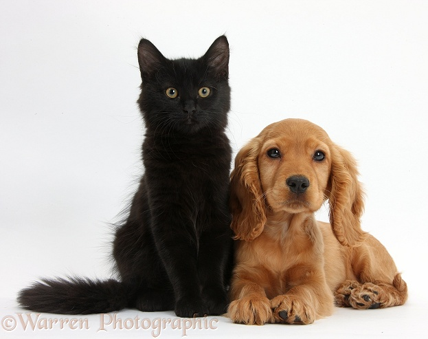 Golden Cocker Spaniel puppy, Maizy, with Black Maine Coon kitten, white background