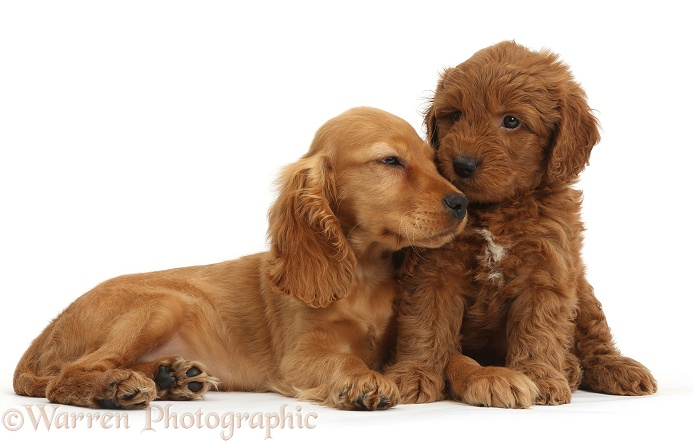 Puppy love - Golden Cocker Spaniel puppy, Maizy, snuggling up to a red F1b Goldendoodle puppy, white background