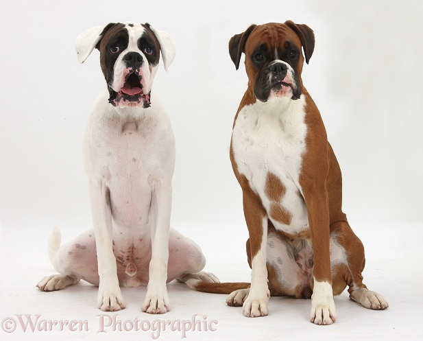 Brown-and-white Boxer dog, Zorro, 2 years old, with red-and-white bitch Poppy, 18 months old, white background
