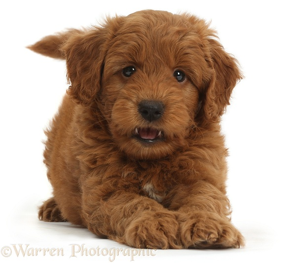 Cute playful red F1b Goldendoodle puppy, white background