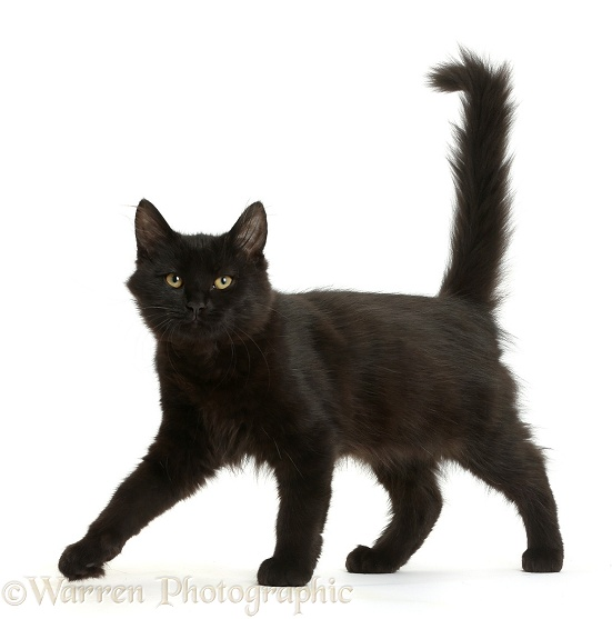 Fluffy black kitten, 12 weeks old, walking across, white background