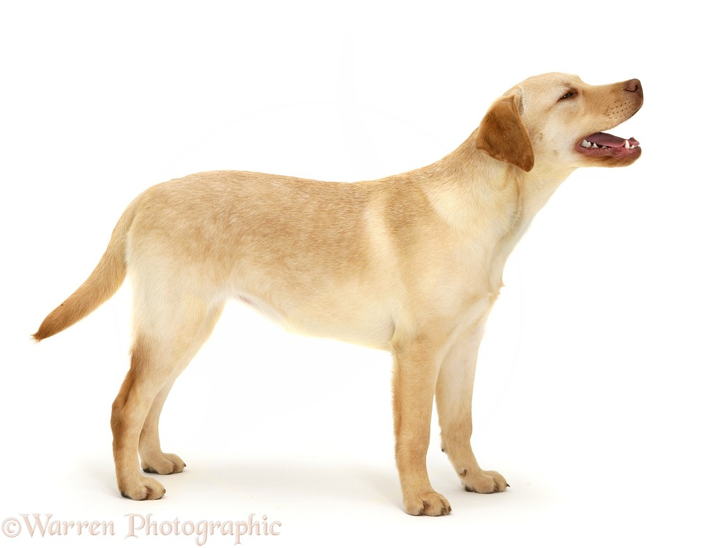 Young yellow Labrador Retriever, Millie, 7 months old, standing, white background