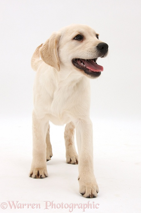 Yellow Labrador Retriever pup, 3 months old, walking, white background