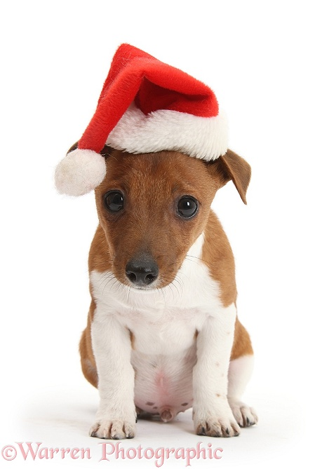 Jack Russell Terrier x Chihuahua pup, Nipper, wearing a Father Christmas hat, white background