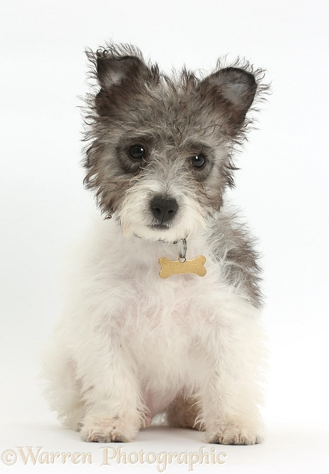 Jack Russell x Westie pup, Mojo, 12 weeks old, sitting, white background