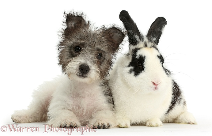 Jack Russell x Westie pup, Mojo, 12 weeks old, with black-and-white rabbit, Bandit, white background