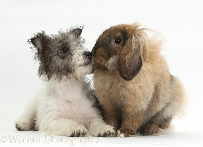 Jack Russell x Westie pup, Mojo, 12 weeks old, with fluffy Lop rabbit, white background