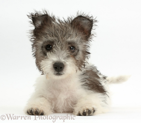 Jack Russell x Westie pup, Mojo, 12 weeks old, lying with head up, white background