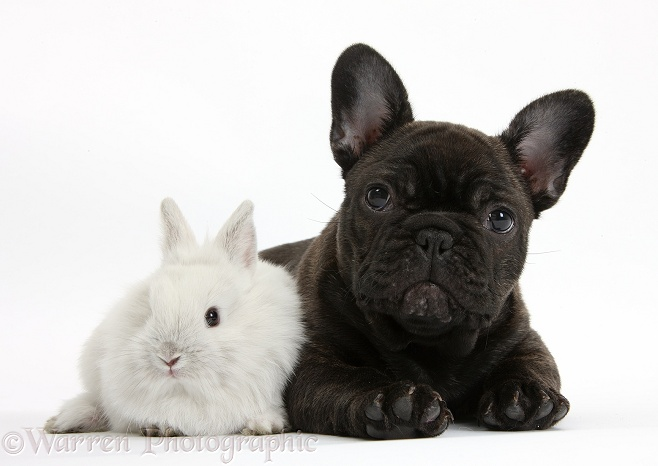 Dark brindle French Bulldog pup, Bacchus, 9 weeks old, with white baby rabbit, white background