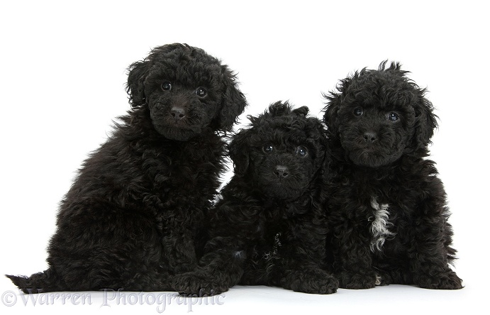 Three black toy Labradoodle puppies, white background