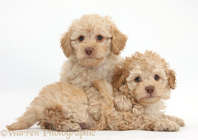 Two toy Labradoodle puppies, white background