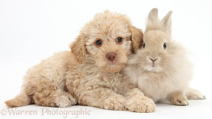 Toy Labradoodle puppy and Lionhead-cross rabbit, white background