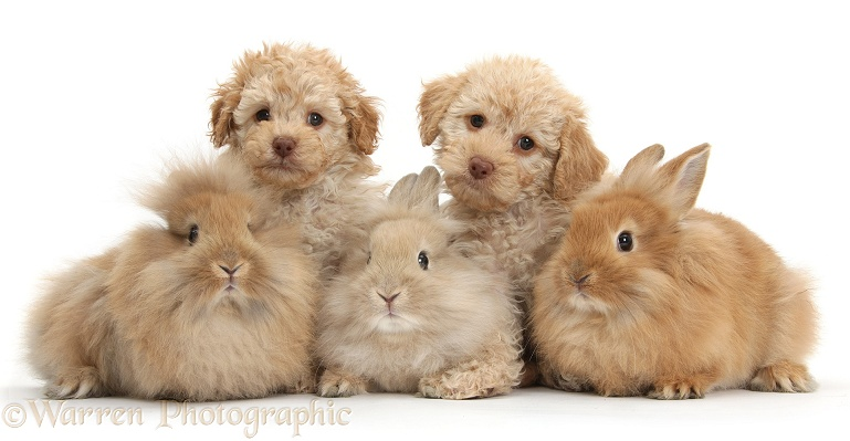 Tow Toy Labradoodle puppies and three Lionhead-cross rabbits, white background