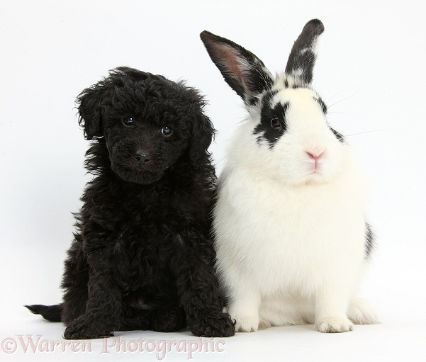 pets toy labradoodle puppy with rabbit photo   wp36858