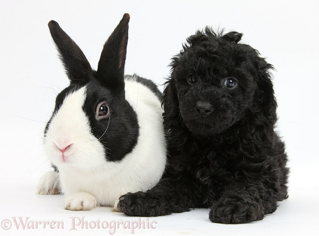 Black Toy Labradoodle puppy with black-and-white Dutch rabbit, white background