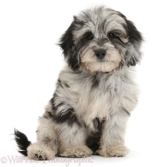 Fluffy black-and-grey Daxie-doodle pup, Pebbles, white background