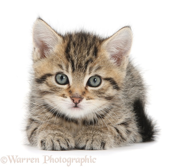 Cute tabby kitten, Stanley, 6 weeks old, white background