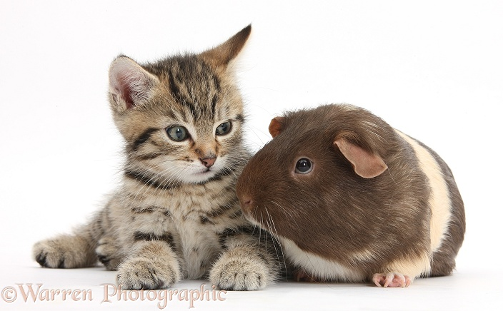 Cute tabby kitten, Stanley, 7 weeks old, with chocolate bicolour Guinea pig, white background